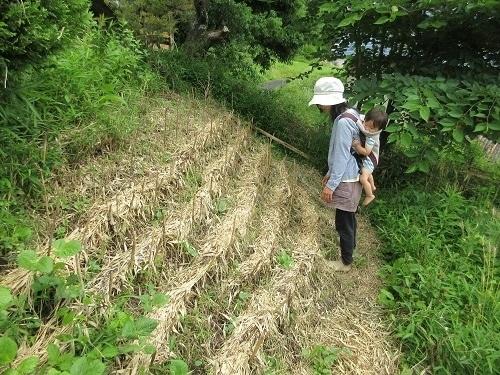 IMG_0026azuki_sasayabu_kaizen.JPG