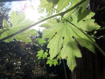 IMG_1325go-ya_leaf.JPG